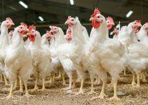 Sonhar com galinha