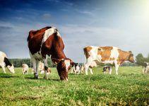 Sonhar com vaca