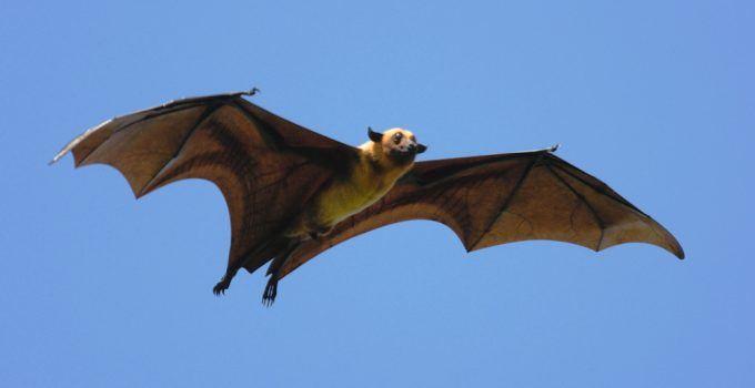 Sonhar com morcego