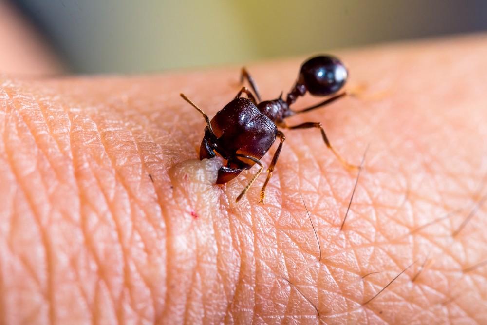 formiga picando