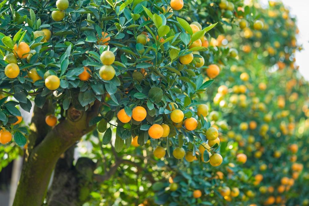 sonhar com árvore frutífera
